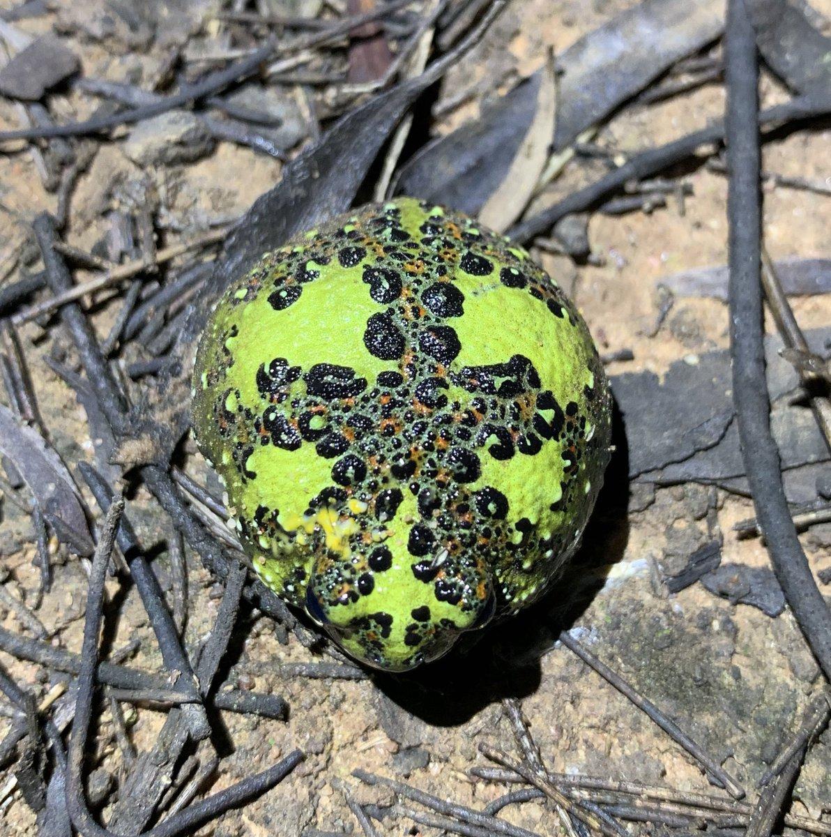 Crucifix #frogs (Notaden bennettii)!!! #WildOz https://t.co/7ybzlsXqyr