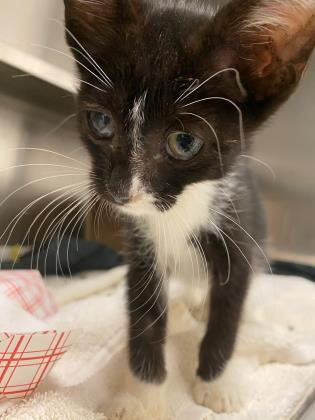 """Appealing juvie tuxie boy kitty """"Slim"""" (45272283) in #IrvingTX has a cold & needs fostering/rescue now! Let's  free this adorable young fellow! Pledge! Email to rescue rescueapet@cityofirving.org Or volunteer4pets@cityofirving.org to foster! VERY URGENT! https://t.co/bNH6b8boms https://t.co/tziawxGHxG"""