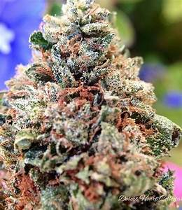 Liquid Butter is potent and strong Indica #dominant hybrid cannabis strain that is most suitable for smoking at night as it induces sleep in your system. It has green colored leafy bud with a #brownish hue. It has a strong #impact on your system and its high lasts on your body https://t.co/A4aayPy1TI