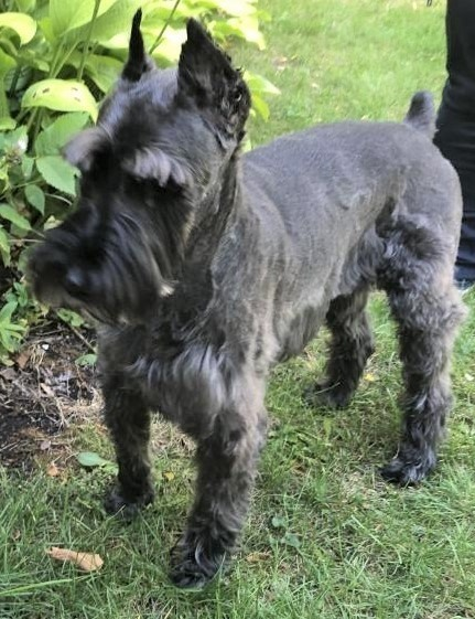 Is This Your Lost Dog? #Lincolnwood #IL #SouthEdgebrook (Devon & Cicero) Unknown Schnauzer.Grey Call 773-899-6350. This dog is not for adoption - finder will only accept calls/from the actual owner .Found 09/19/2020. #CookCounty. 60646. #LostDogsIllinois… https://t.co/9gj54hSHD2 https://t.co/D2e2Zc4Y8A