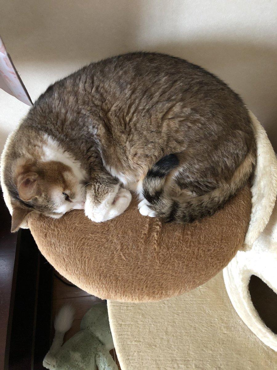 """だいぶ涼しくなって来た朝、見事にま〜るくなって寝ている""""もも""""を発見😸🐾 どら焼き、食べたくなったのは私だけ〜❓😋🙀 #猫の居る生活 #猫好きさんと繋がりたい #どら焼き https://t.co/1IDOdUfz2g"""