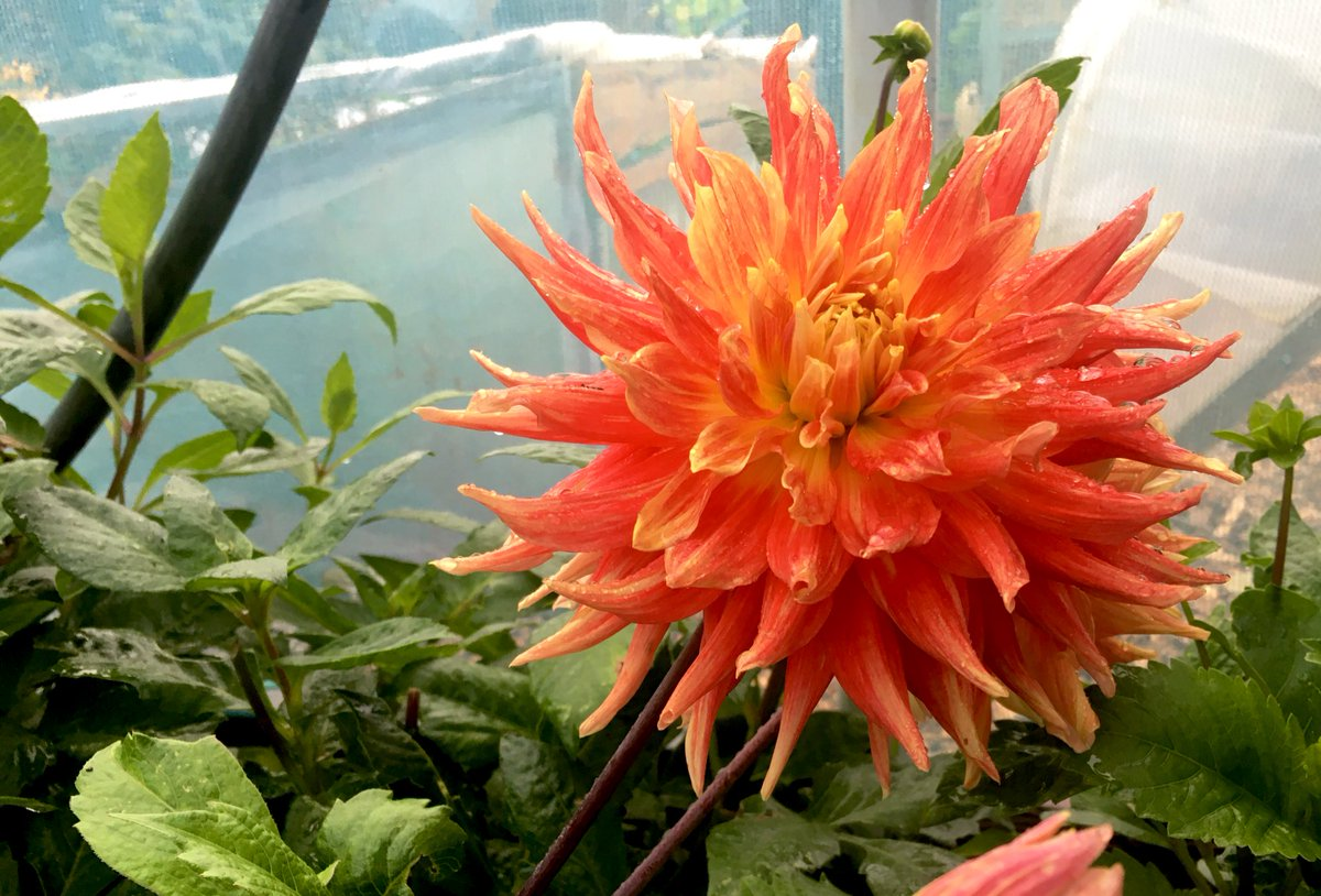Morning everyone, definitely getting cooler overnight, however worth it for the sunshine days ☀️☀️ Dahlia 'Maniac' is flowering away very nicely. Have a lovely one 😊👍🏼🌿🧡 #DahliaLove https://t.co/WrPtExYv2C