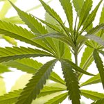 Image for the Tweet beginning: #cannabis #marijuana #weed Marijuana question