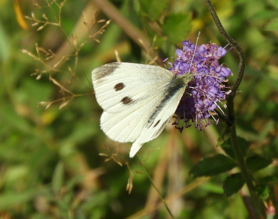 Trench Wood. Still a few butterflies about yesterday afternoon, numbers were low, though.  Small white 3, Large White 2, GV White 1,  Peacock 1, Comma 1 , Speckled Wood 3. No blues, coppers or B Argus. @WorcsWT @BC_WestMids https://t.co/8e2WejdFMI