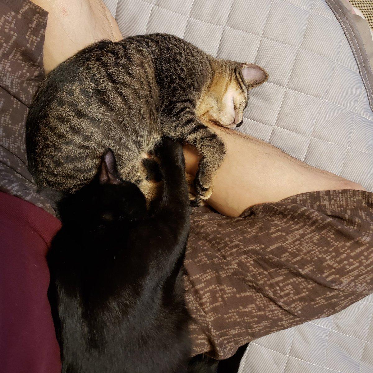 休みの日は、一日中離れない(笑) 『お前ら本当に俺の事が好きだな』 (笑)(笑)(笑)  #保護猫   #猫の居る生活   #100日後にはデッカクなっちゃう子猫達 ウチに来て85日目 https://t.co/XB1je60mnb