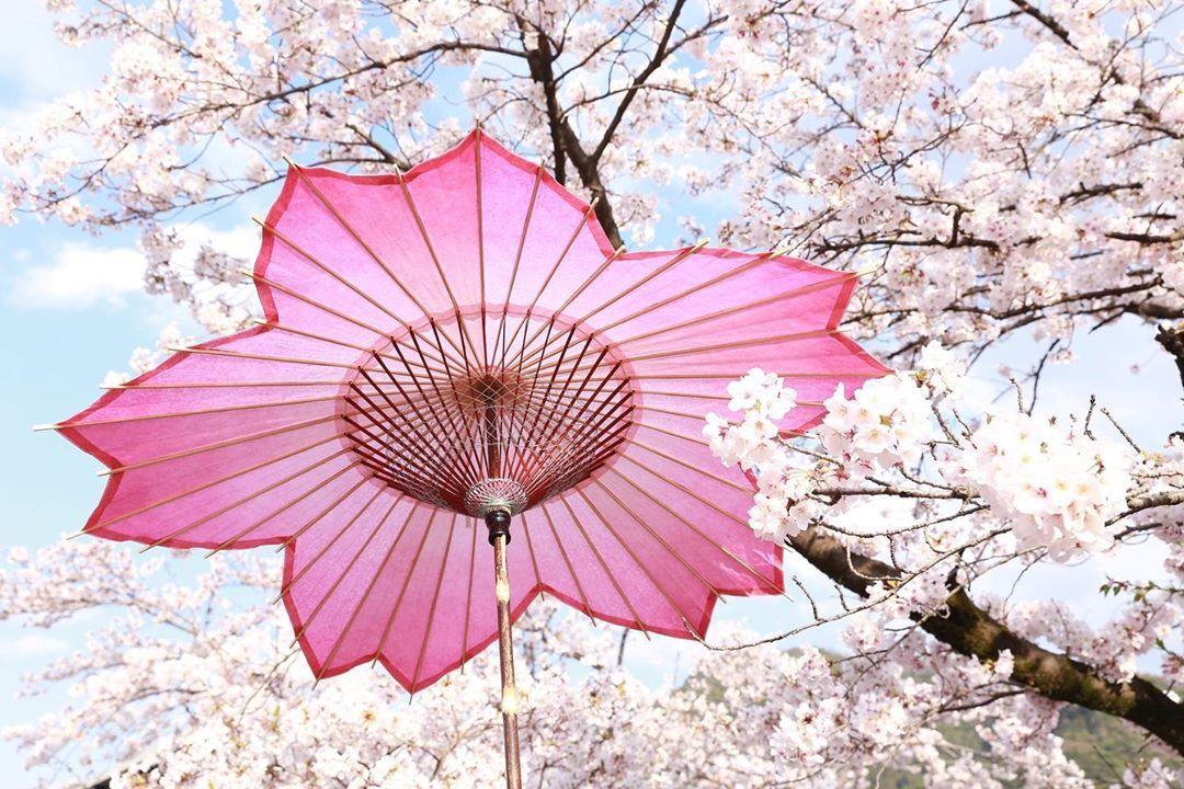 日本の文化と桜の花が混ざりあうと、溜息がとまらないほど美しくなるっていう真実を、もっと世界は知ったほうがいい。