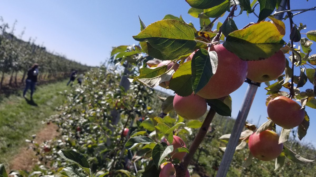 A lot of 🍊 at the 🍎 orchards this weekend! @SyracuseU #Honeycrisp https://t.co/gayyLtDXef