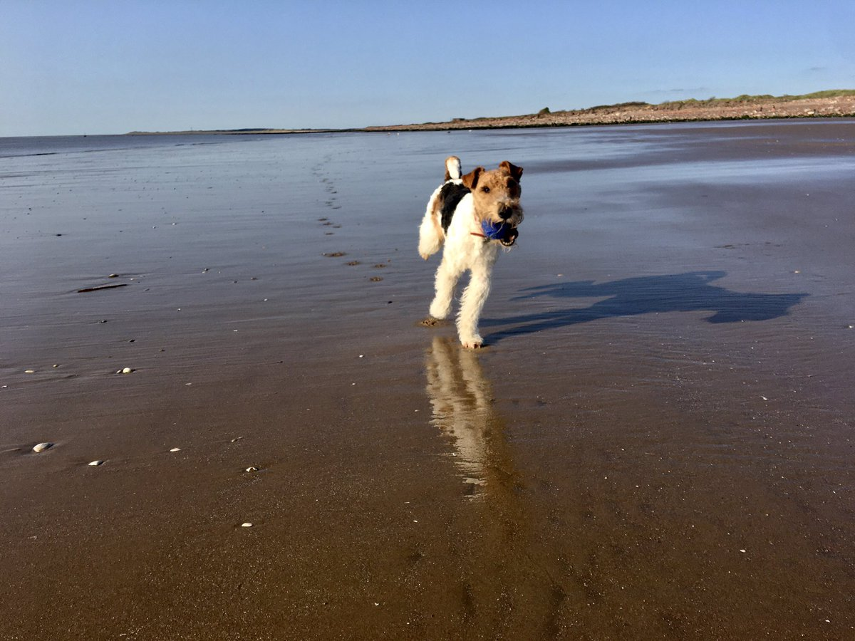 Lovely evening at Crosby Beach - Ralph chasing his ball 🎾 #wirefoxterrier #getoutside https://t.co/vDWPsjxUrA