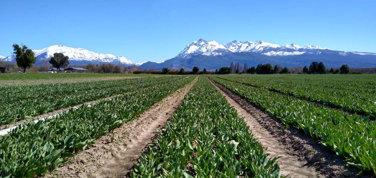 🌷🌷Pero mirá que lindos se están poniendo🌷🌷!!! Se viene la temporada de #Tulipanes en #Trevelin #Chubut !!! Prepárate porque en Octubre ésto se transforma en una paleta de colores y se viene transmisiones en vivo!! Gracias 📷 Carlos Ledesma! https://t.co/YW542XHQVN