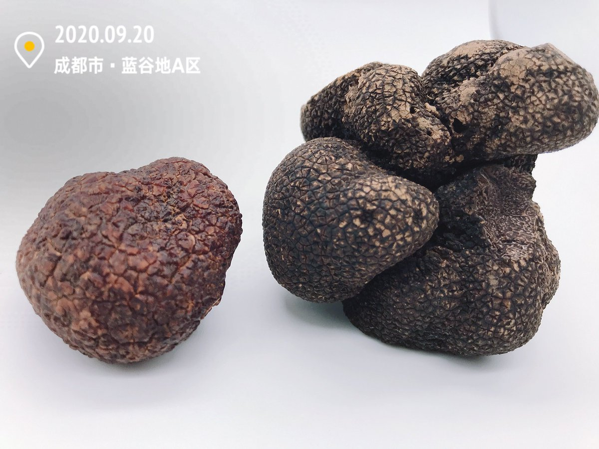 Difference between Tuber Indicum truffles and our newly discovered LtN super truffles (melanosporum) as photographed  on September 20th.2020.  #wintertruffle #blacktruffle #chefparis #truffles #chinesetruffles #chefstalk #tokyochef #singaporechef #executivechef #foodandbeverage