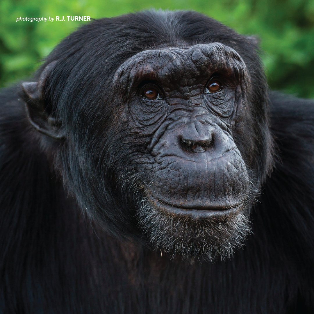 Chimps are threatened by habitat loss, poaching and demand for live baby chimpanzees as pets. https://t.co/rcoxlFOzhA https://t.co/nGDyJopPoI