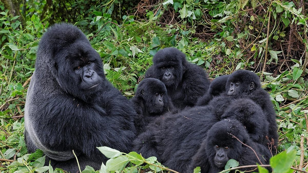BWINDI IMPENETRABLE NATIONAL PARK Spend a magical hour in the company of mountain gorillas. How cute is family ? ????😍  Read more : https://t.co/UiNqglLn8Y  #visituganda #tours #gorilla #gorillatracking  #travel #trip #traveltheworld #igtravel #tourism #CHELIV #NEWBRI #SOUTOT https://t.co/EkVKUSAZAl