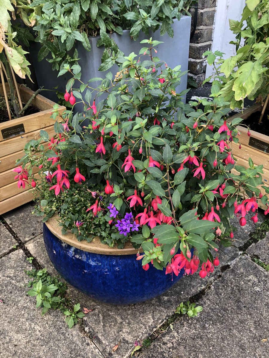 And my fuchsia is still blooming ☺️