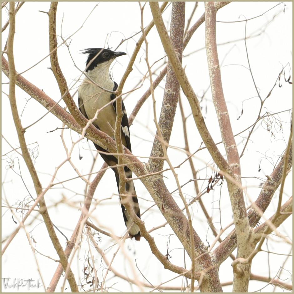 Jacobin Cuckoo. New in #Gurugram Gardens  #JacobinCuckoo #Cuckoo   #NikonPhotography by #VivekPathak  #QuarantineAndChill  #QuarantineActivities #StayHome  #NikonD750 Nikkor 70-200 1:2.8mmE FL ED @NikonIndia  #ILoveNikon #BIRDSTORY #birds #BirdsLife https://t.co/a5XqNDg3C9