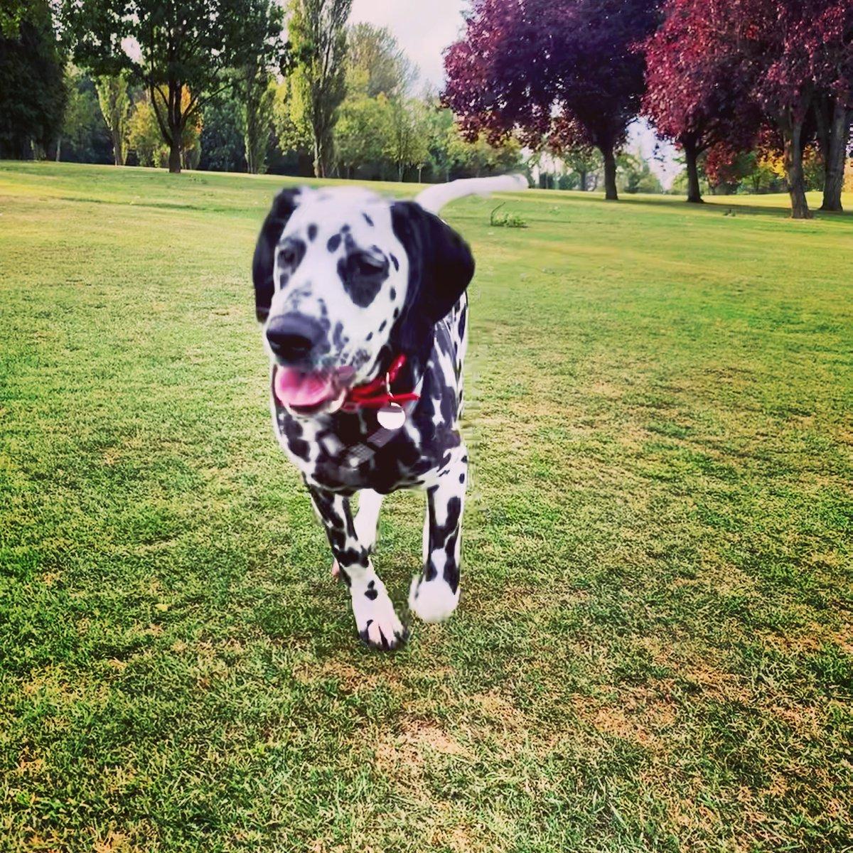#dalmatians #puppylove #running https://t.co/f766hUkPWW