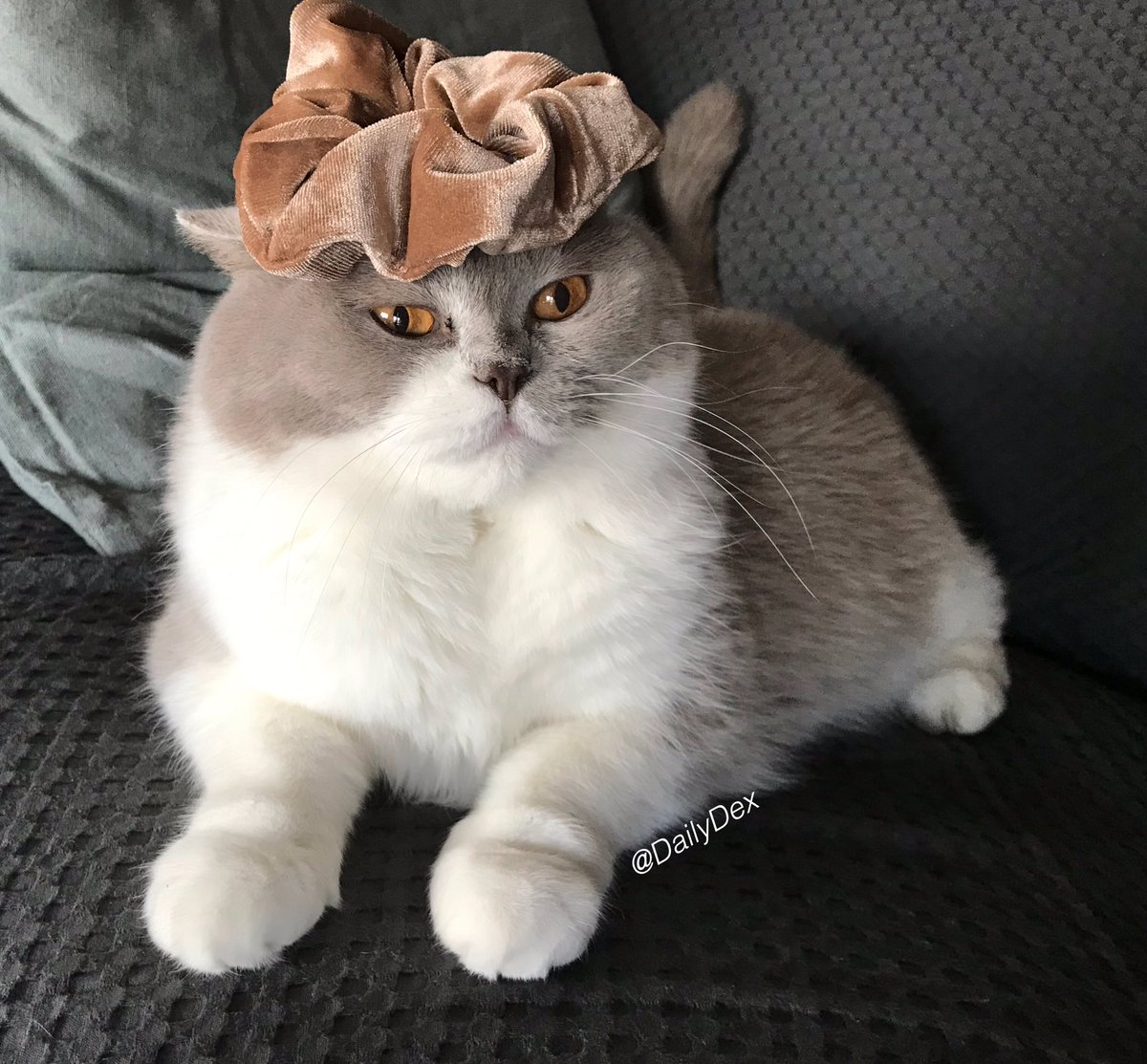 Trying my human's scrunchie for a crown 👑 Don't I look regal? A little lion king maybe? 🦁😹 #SundayFunday #SundayThoughts #CatsOfTwitter #SundayFeels  #SundayMotivation #CatLife https://t.co/XZgjD5JxTS