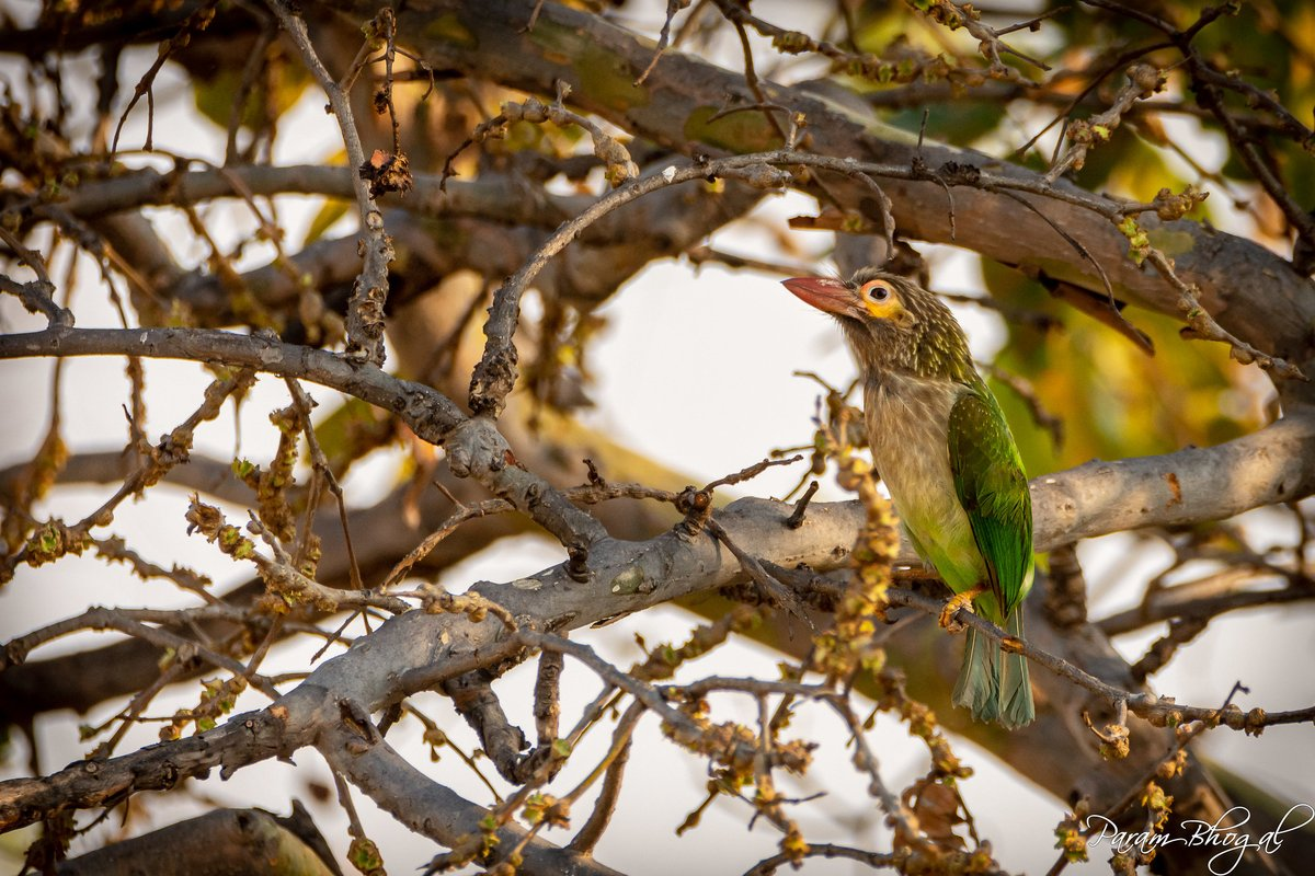 Brown-Headed or Large Green Barbet in Punjab. Resides in forests & green urban areas throughout India. Brown colour around head is heavily streaked, green has white speckling.  #BirdsOfIndia #Lockdown2020 #BirdingAtHome #WildlifePhotographer #VisualStoryteller #AmazingNature https://t.co/RW6cV0NvD3