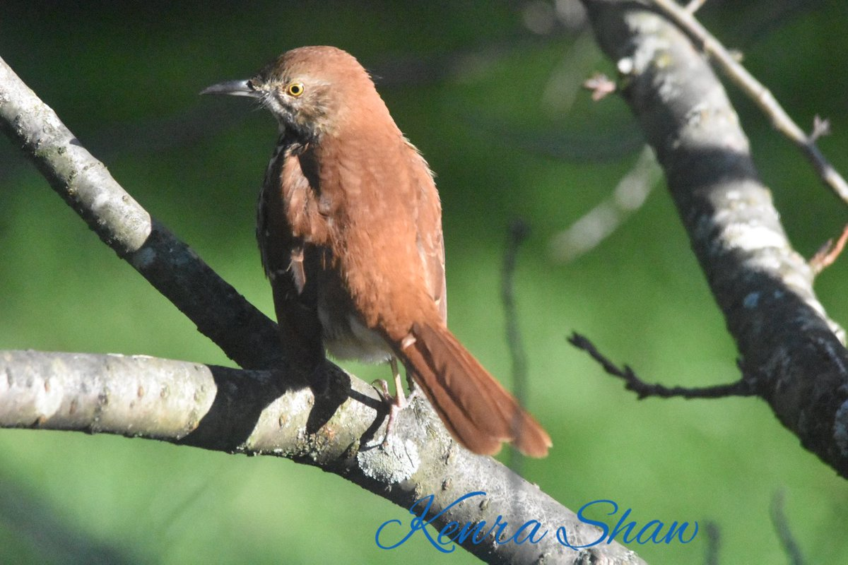 "A brown thrasher in my yard.  I mistook it for an immature hawk the way the other birds squawked and scattered.  Come join our FB group ""Birding While Black"" #BirdingWhileBlack #BlackBirders #BlackBirding #BlackWomenWhoBird #BlackBirdersWeek https://t.co/w8qzMHAkWI"