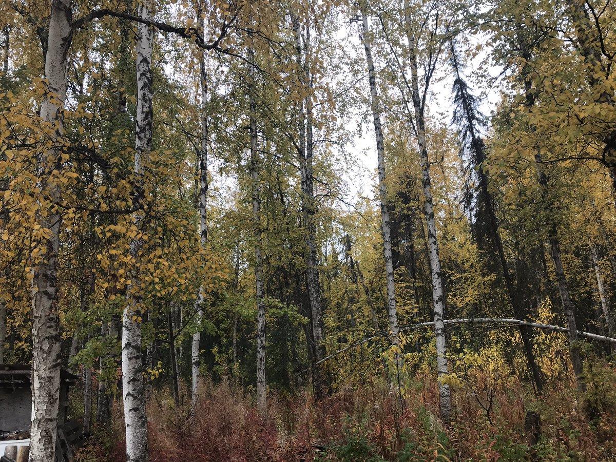 家のドアの向こうは、めっきり秋です。なんか、寂しい気分、、、。 #キャンプ好きと繋がりたい #秋 #アラスカ #黄葉 https://t.co/peJaKrkKBo