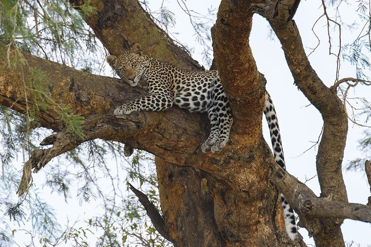 Leopards are very solitary creatures and extremely difficult to trace and locate while in the wild. An opportunity to catch sight of one on a #ugandasafari is a blessing.  #visituganda 📧 Info@cultoursandsafaris.com 🌐https://t.co/NEHx9qEuoP 📞+256 414660243, +256 775776980 https://t.co/bjSs7evroD
