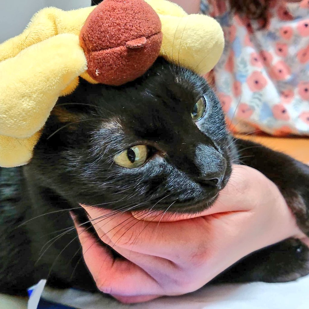 #ポムポムプリン #pomupomupurin #布丁狗   #cat #blackcat #catblack #catslovers #catday #kittens #blackkittens #catsofinstagram #catphoto #猫 #ネコ #ねこ #黒猫 #猫写真 #猫好き  #猫日常 #猫の居る暮らし #保護猫  #貓 #黑貓 #貓照片 #愛貓  #貓奴 #貓星人 https://t.co/dYppgoaShH