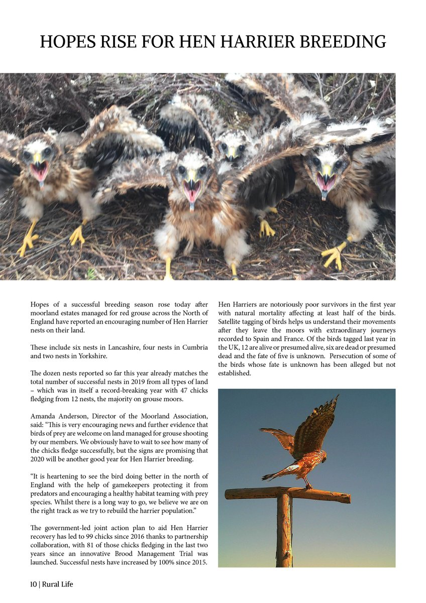 Hopes Rise For Hen Harrier Breeding. Discover more within the latest issue of Rural Life by reading either Online for FREE: https://t.co/Iua8iqgd2Y on Readly: https://t.co/ijrre1JkmJ or in Print: https://t.co/5hP9swrjhd #RuralLife #Conservation #countryside #HenHarriers https://t.co/yJkh58nmBy