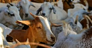 Read our latest publication on local #fodder species for a competitive #gender-sensitive goat value chain in a #Climate-Smart Village in #WestAfrica.  https://t.co/c63jzu8Cxp @EU_Commission @IFAD @FAOWestAfrica @ICRAF https://t.co/yeHlxU2W99