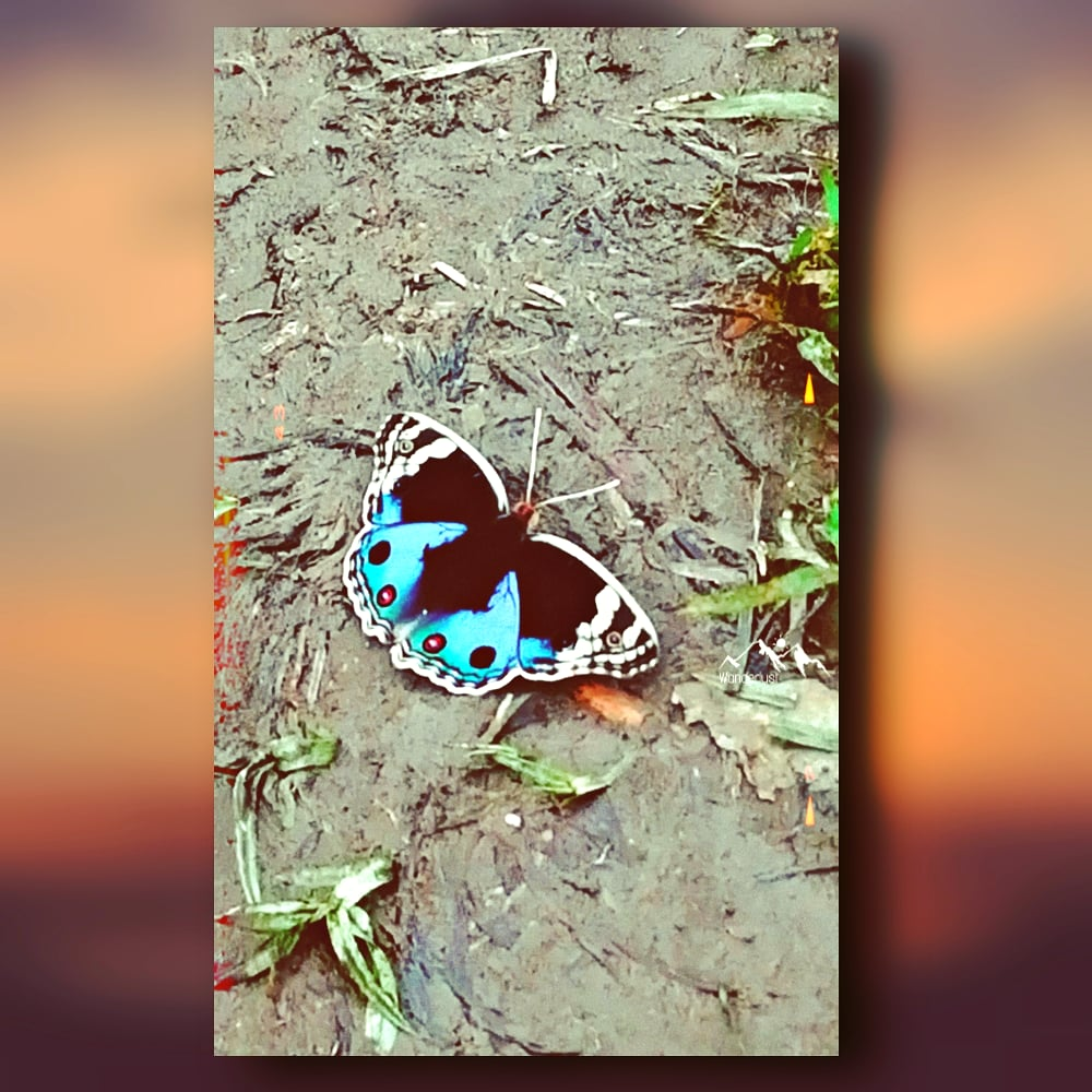 Here is the most rare #butterfly in the world that I captured 📸 . . . . . #butterfly #butterflies #butterfly_n_flower #butterflyphotography #butterflygarden #rare #rarebutterfly https://t.co/fzLHWV08N0