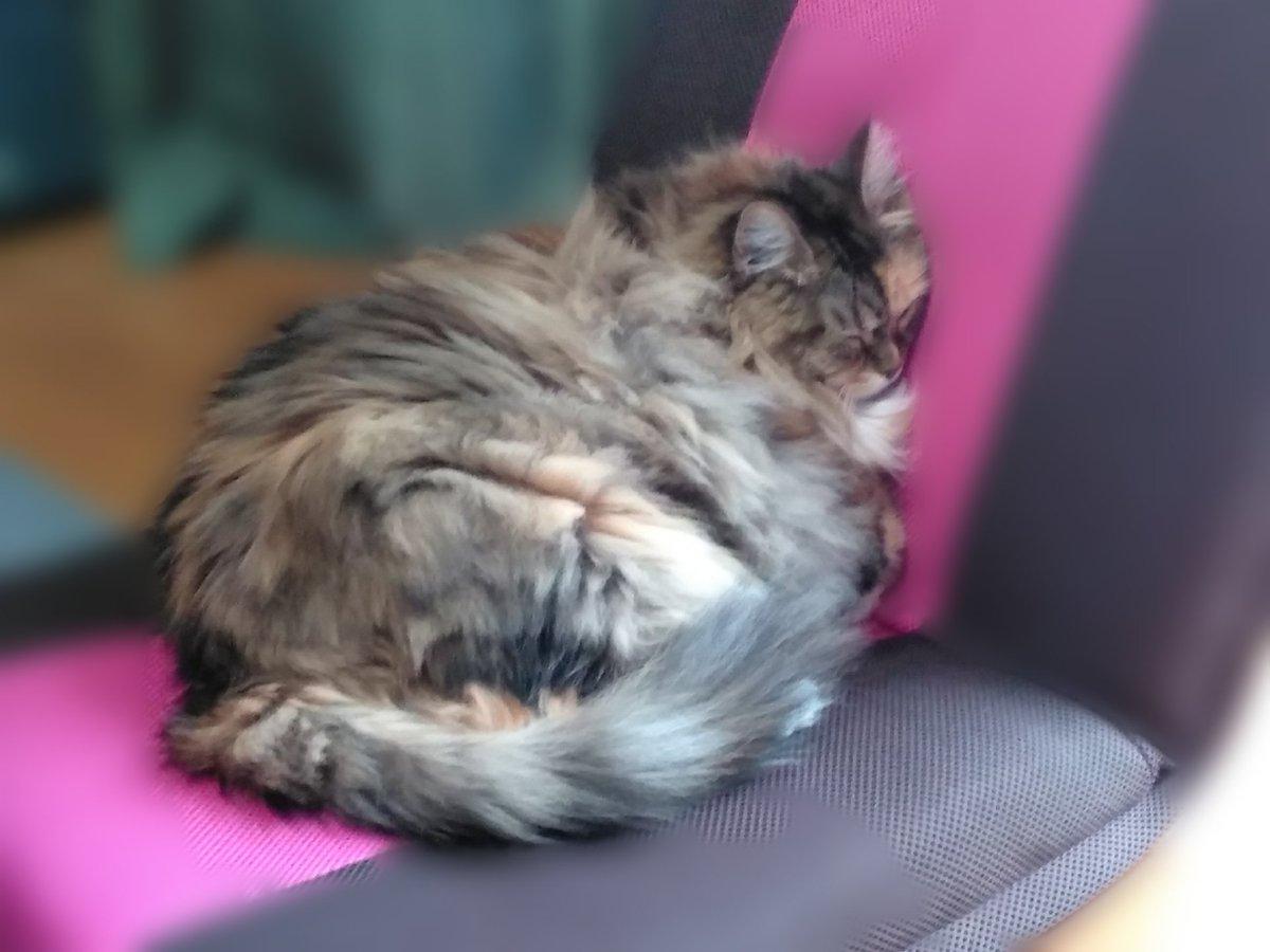 飼い主さんの匂いがする #三毛猫 #猫の居る生活 #猫好きさんと繋がりたい #猫のいる暮らし #猫好き #猫 #ネコ #ねこ #猫の居る幸せ  #猫写真 #メインクーン  #貓  #cat  #mainecooncat https://t.co/FxpMo0wYie