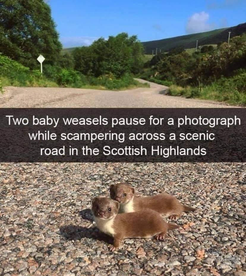 Oh! You're awake from #painsomnia too?  Here's a cute picture of weasels crossing the road. 😍  #chronicpain #chronicpainwarrior #spoonie #spoonielife #insomnia #nosleep #painawarenessmonth #pam2020 #mypainplan #ehlersdanlossyndrome #pots #gastroparesis #chronicmigraine #csfleak https://t.co/RGDRDYe4dl