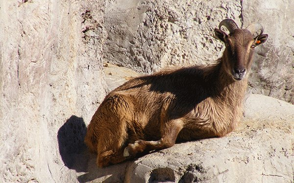The Himalayan tahr is well adapted for climbing across rocky cliffs. Learn more about them here - https://t.co/dbVKl1c4jU 📷The Animal Facts #himalayantahr #tahr #mountains #animals #cute https://t.co/e25xlFEVy3