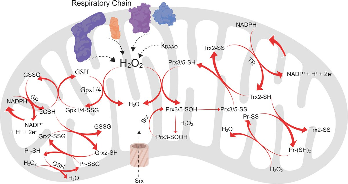 """Read new #cancer research from Stein and colleagues, """"Kinetic modeling of H2O2 dynamics in the mitochondria of HeLa cells"""" here: https://t.co/VRvvZ0DlVh @sikeslab https://t.co/vcyBSWl0lT"""