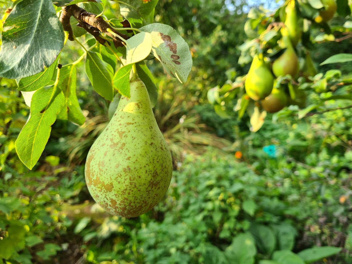 Learn more about #harvesting #apples & #pears in this week's #allotment diary for @BBCNorthampton via https://t.co/USm2Km5reG. 🍏 I've also got some lovely pear and apple recipes on the blog 🍎https://t.co/ijuCmZlqqg. Enjoy! 🍎🍏🍐#allotmentalicediary #recipes #gyo  @blabers https://t.co/jVGwi9v91i