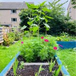 Image for the Tweet beginning: Firhill's sunflowers are growing well.