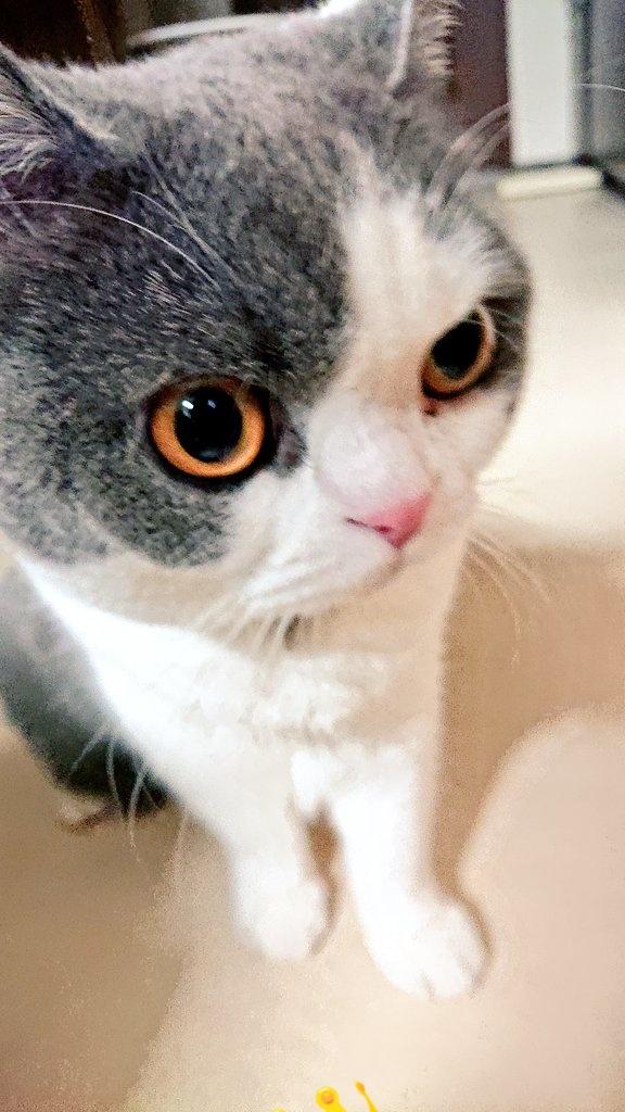 にょ?  たしかに、 今朝も むぎ坊を たたきましたにょ。  それで なんですにょ?  ~孤高の女帝  さつき 👑🐱👑  #ブリティッシュショートヘア #猫好きさんと繋がりたい #ねこのきもち  #猫のいる暮らし  #猫好き https://t.co/bYk4EKG0sB