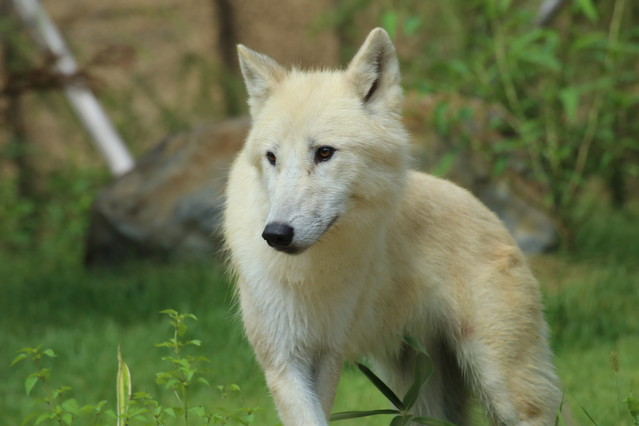 1000RT:【国内唯一の展示】栃木県の那須どうぶつ王国、幻の「ホッキョクオオカミ」公開中新型コロナの影響で約半年遅れでのスタート。北極圏の環境を再現した「オオカミの丘」で2頭を見る事ができる。