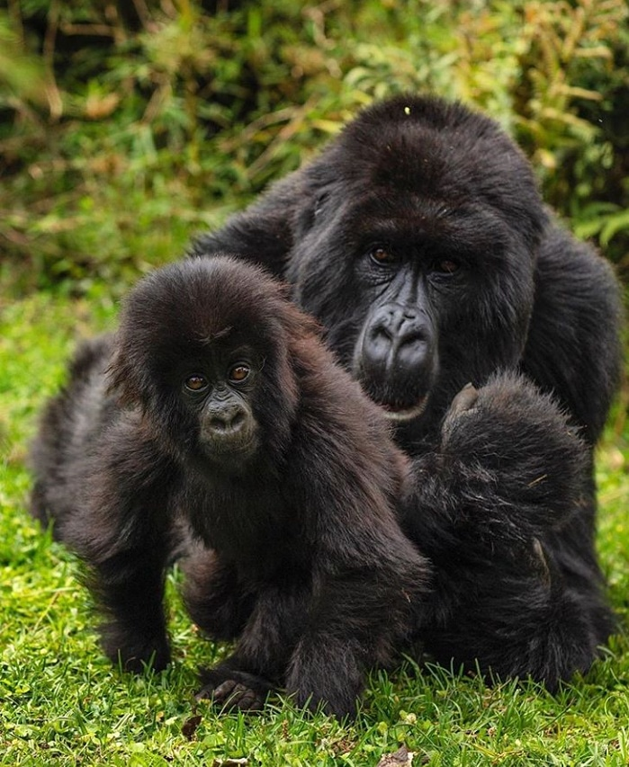 A visit to the Gorillas is an experience of a lifetime: leave just your footprints and take home your memories. _________ #VisitRwanda #GorillaTrekking #VolcanoesNationalPark __________ Plan your trip to #Rwanda with us;   Contact us on info@vazqueztours.com  __________ https://t.co/g7g6r2eMHq