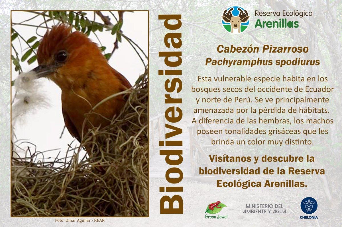 BIODIVERSIDAD DE LA RESERVA ECOLÓGICA ARENILLAS  La #ReservaEcológicaArenillas, hoy nos presenta al Cabezón Pizarroso, una especie que forma parte de esta área protegida.  #ÁreasProtegidas #BosqueSeco #Biodiversidad #Conservación #Educación #Investigación #Turismo #Guardaparques https://t.co/JgM62ukIcA