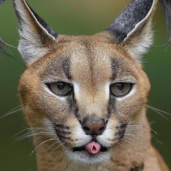 #lynx #cats #cat #catsofinstagram #catstagram #kitten #cats_of_instagram #wildlife #kitty #animalplanet #catlover #photooftheday #instacat #wildlifephotography #nature #love #cute #kittens #bobcat #meow #wild #pets #wnba #catoftheday #beauty #pet #photography #animals #caracal https://t.co/JFIZHC4Phx