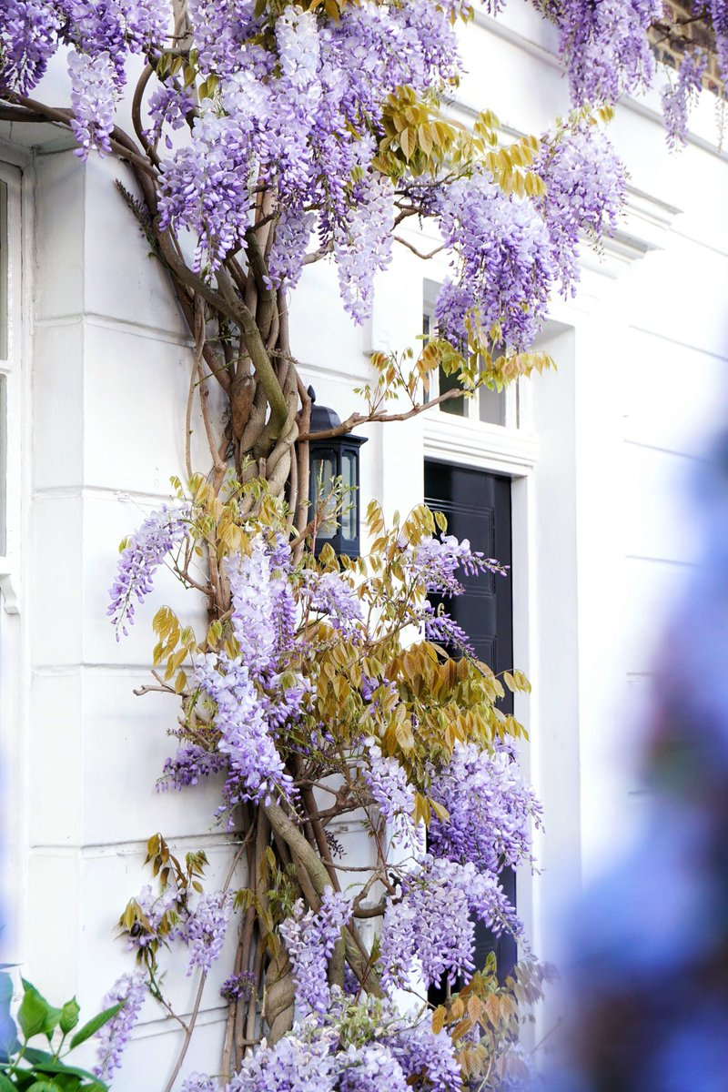 Beautiful Flowers Wisteria #wisteria #Flowers #amazingplaces #houses #beinspired 🌹 https://t.co/PpGzsQeeEl