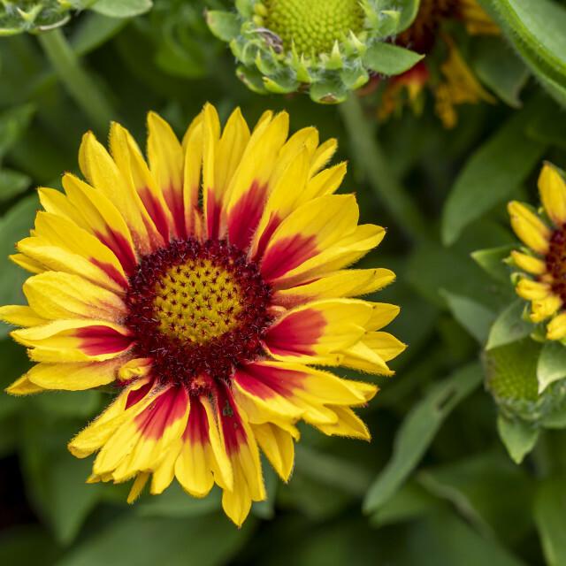 Bright Gaillardia blanket flowers Image available athttps://t.co/Nf7ZAdUQpS #flowers #flowerphotography https://t.co/HmZEeUUZnC