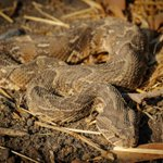Image for the Tweet beginning: A puff adder's name originates