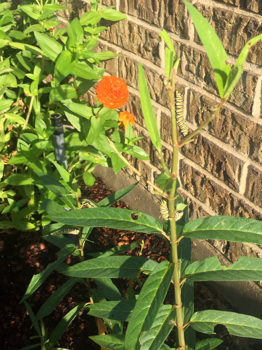 Look what I found in my garden today!!! I counted four! I grew this milkweed from seed. I'm glad they like it! #MonarchButterflies #Milkweed https://t.co/gXHlhIHCc4