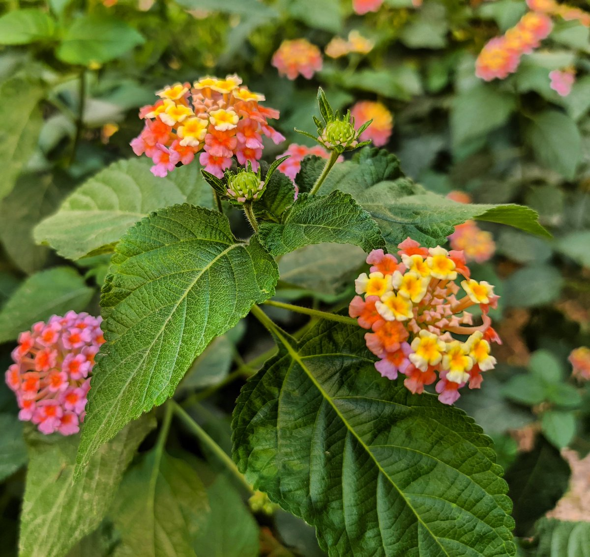 Here are few Lantana Camara #flowers to give a #colorful #delight to your #day!   #LantanaCamara#color #photography #mobilephotography #OnePlus #vsco #vscocam #vscophile https://t.co/cUtdhFKHjL