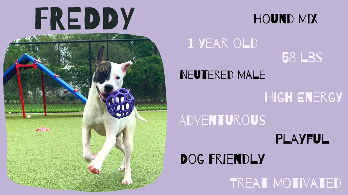 Happy Monday! Freddy is a happy-go-lucky boy who loves to play. If you like to hike, camp, or just run down the road, Freddy is your man!  #BryanAnimalCenter #CityofBryan #AdoptDontShop #Playful #Hound #Rescue #Adventure #BestFriend #Runningbuddy #Happyboy #Monday