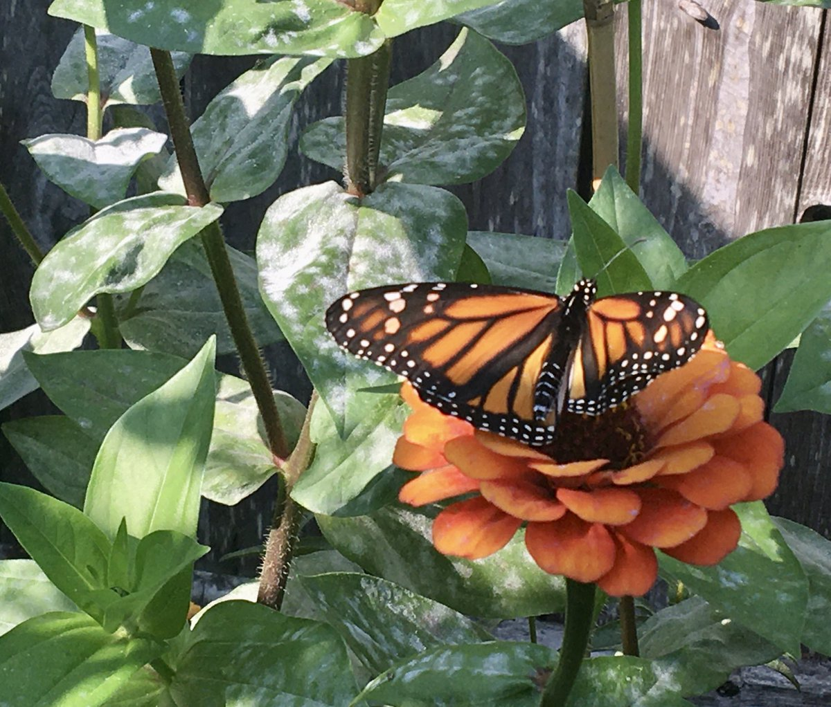 Released 12 #monarchbutterflies this morning https://t.co/E2x1S4Kxor