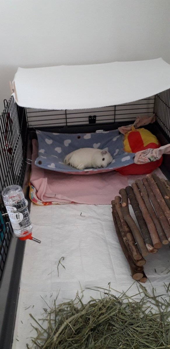 One #chilled out @Guineapig on his hammock #relaxation look who's got the live #pets https://t.co/vpPpx17cgP