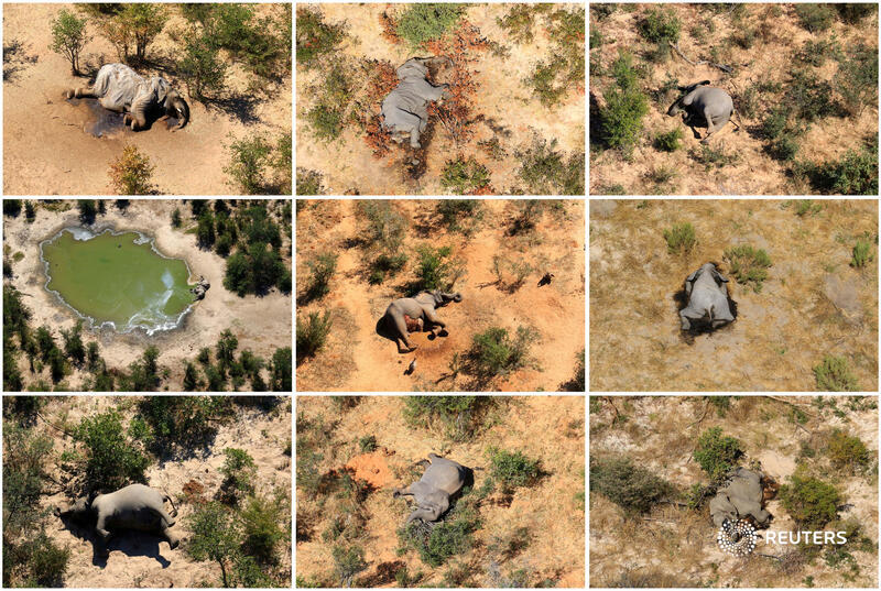 The deaths of hundreds of elephants in Botswana this year which baffled and alarmed conservationists were caused by toxins produced by cyanobacteria in water https://t.co/SC7yweqPXC https://t.co/04w8ZhvNtR