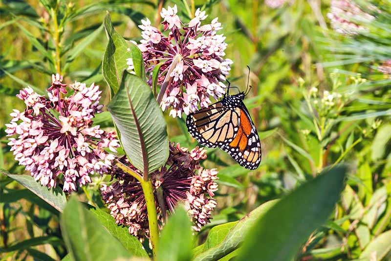 Why You Need Milkweed: A Guide to Growing Asclepias https://t.co/41NtNvwVt4 #butterflygarden #pollinators #monarchbutterflies #gardening https://t.co/t7xxEjVOph