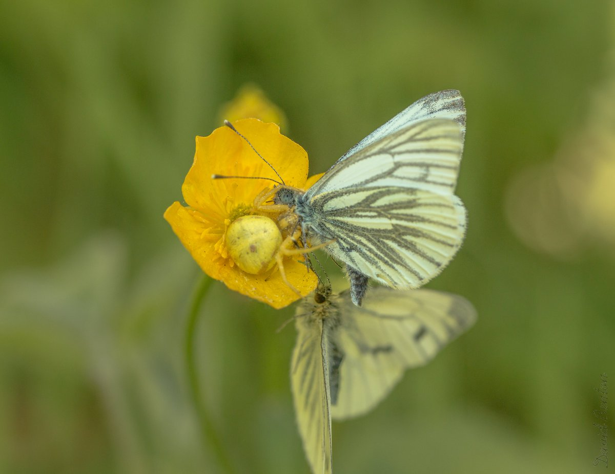 Looking back through butterfly photos from this year and I found this. A crab spider on a buttercup captured a double lunch of 2 green veined whites, Actually I didn't see the spider in real life (camouflaged and dodgy eyesight) just 2 static GVWs. #Monkwood https://t.co/10wvIiJUkm